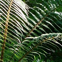 ferns at Balloch Wood