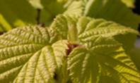 Fresh spring hazel leaves. (Corylus avellana)