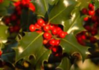 Holly heavy with berries.
