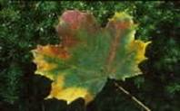 FIELD MAPLE(Acer campestre)  LEAF - AUTUMN